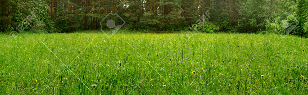 Panorama of a clearing in a pine forest in the morning - 153641156