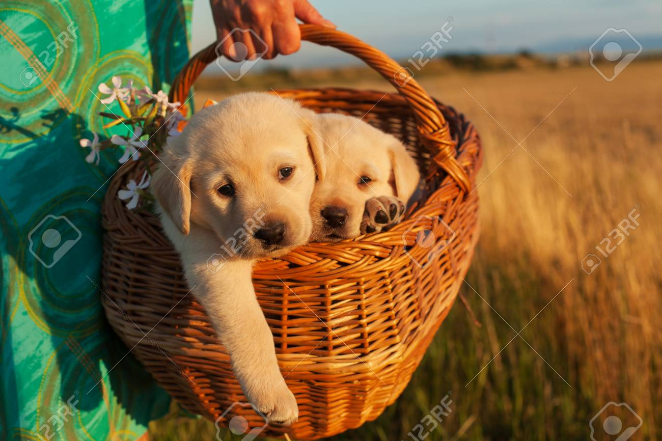 Two adorable labrador puppy dogs in a basket - woman hands carrying them outdoors, closeup - 110862936