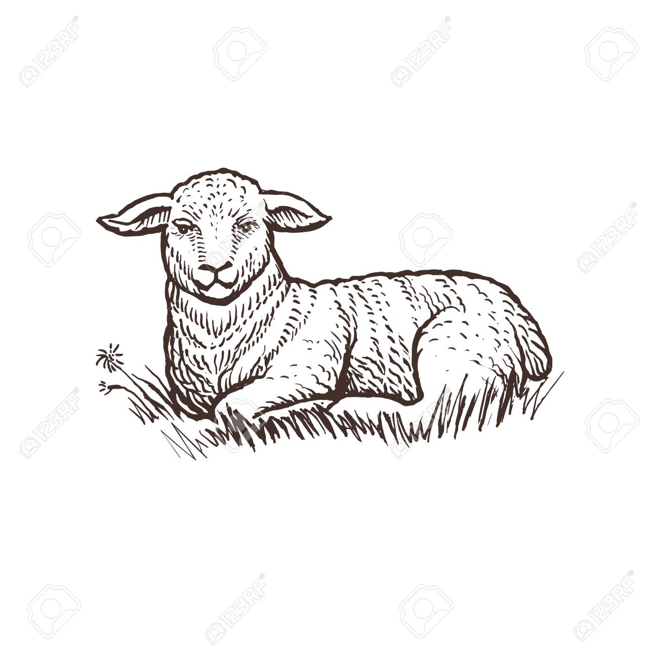 Lamb Farm Animal Sketch Isolated Lamb Mammal On The White
