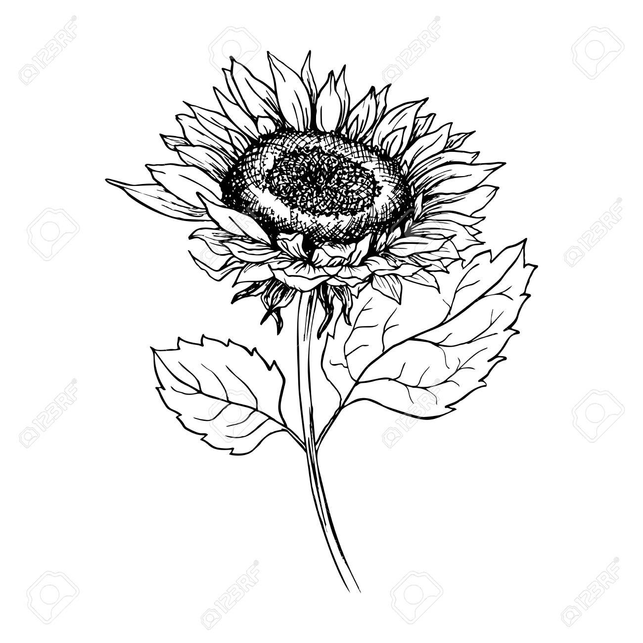 Sunflower hand drawn vector illustration floral ink pen sketch