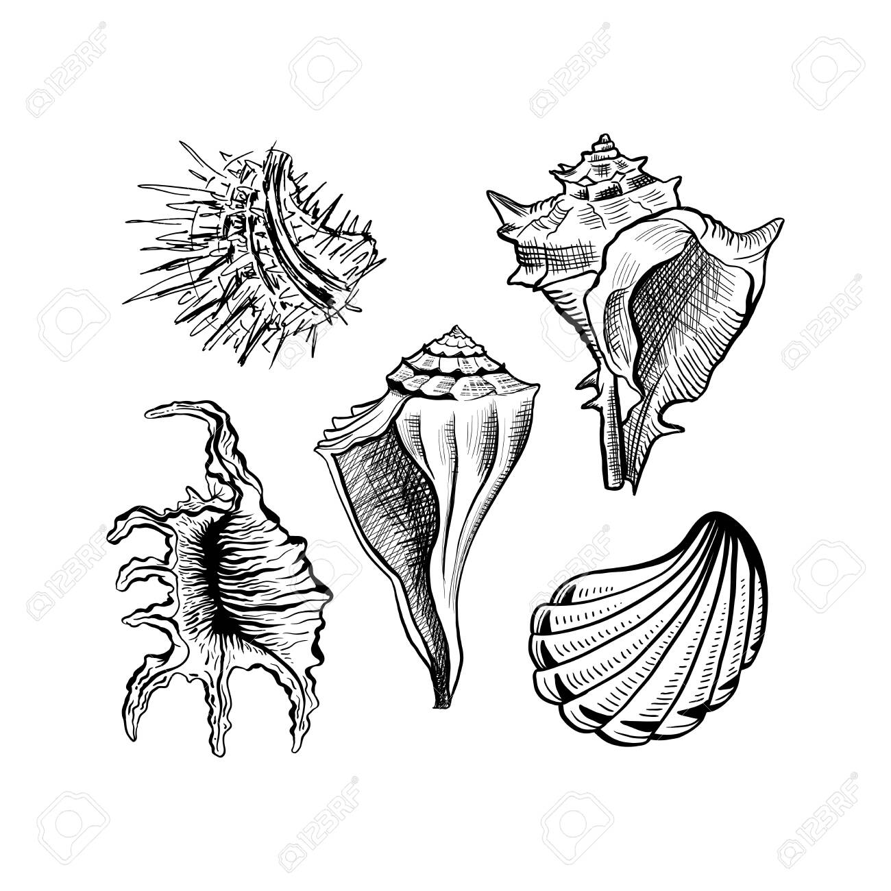 Angular murex seashell hand drawn vector set. Seashore conch, mollusk monochrome sketch. Freehand outline clam shell engraving. Conchology isolated design elements. Realistic ink pen drawing - 122405413