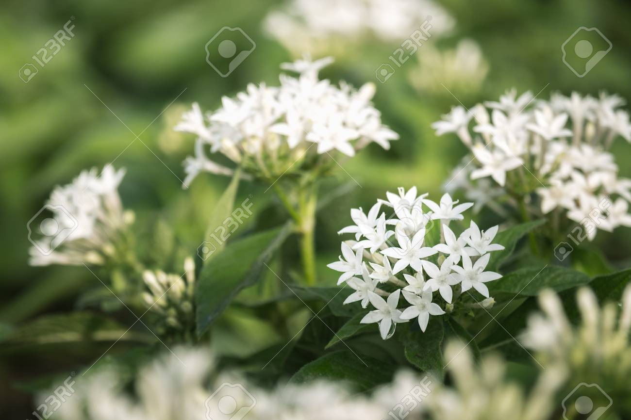 White Pentas Lanceolata Or Egyptian Star Cluster Flowers Blooming