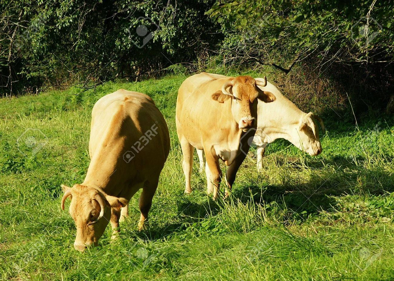 cattle Stock Photo - 442891