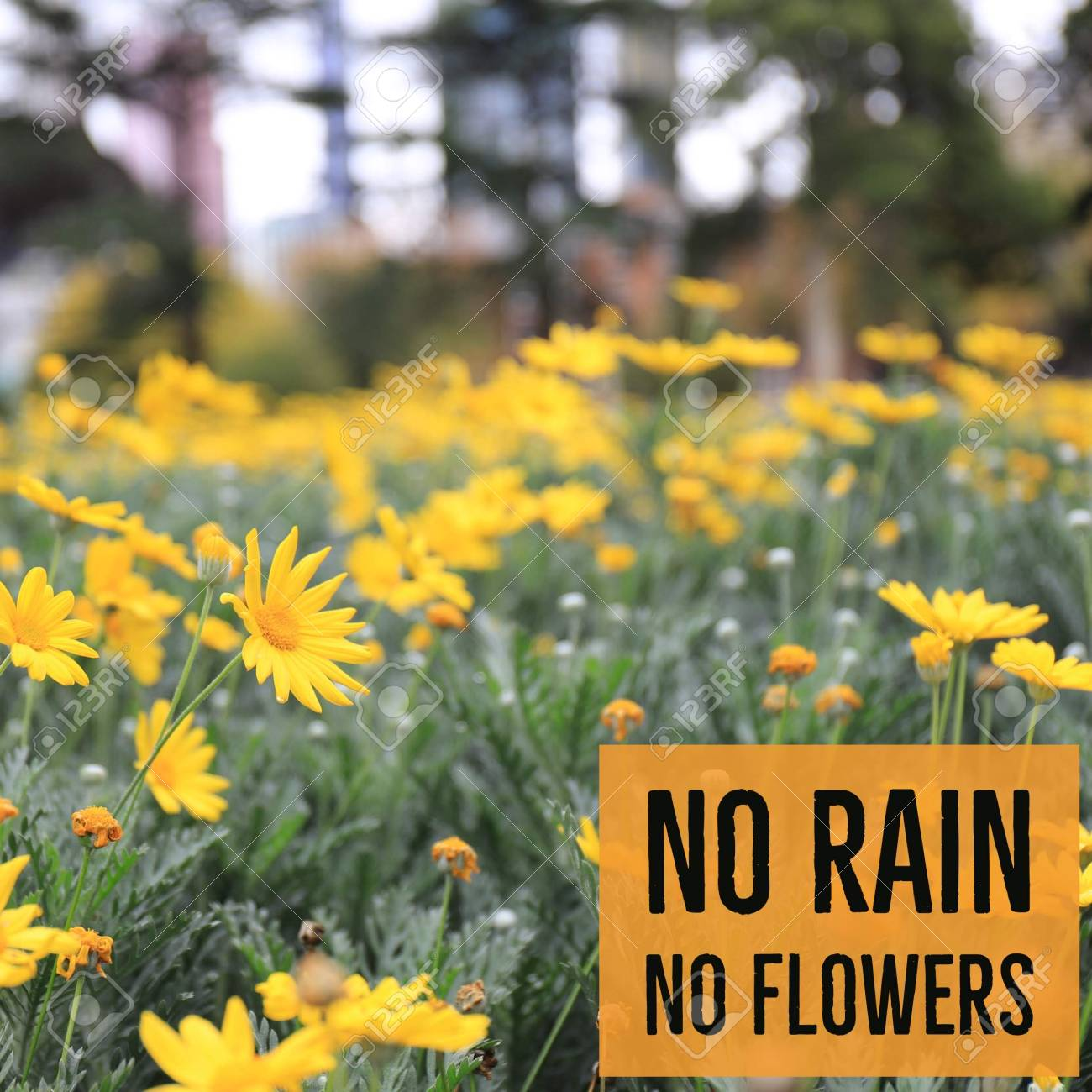 Inspirational Motivational Quote No Rain No Flowers With Yellow Stock Photo Picture And Royalty Free Image Image 117582480