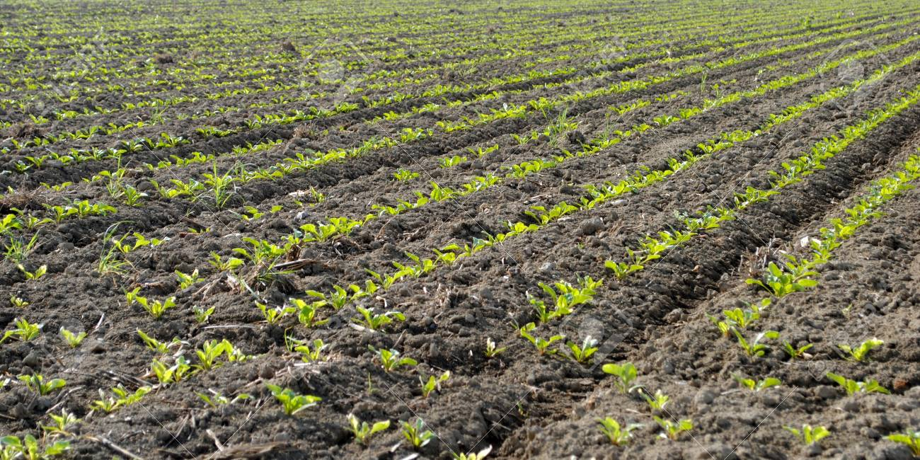rows of green seedling in a wheat field Stock Photo - 13166615