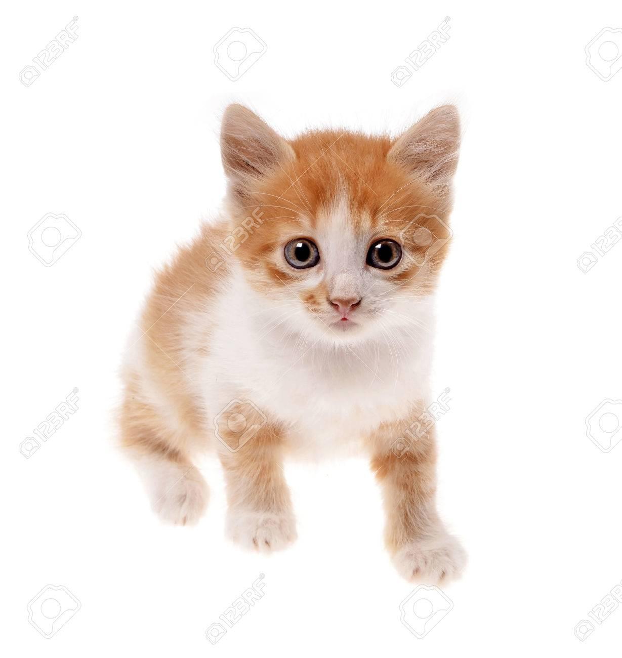 Un Pequeño Gatito De Color Naranja Sobre Un Fondo Blanco Fotos ...