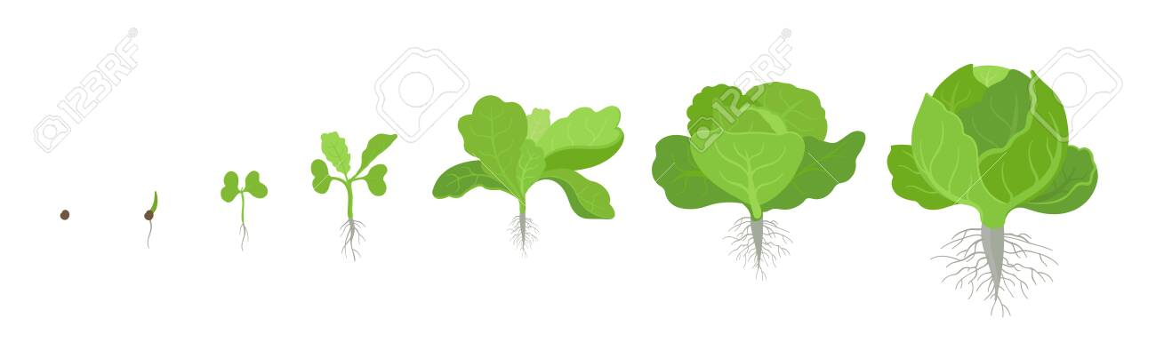 Crop stages of headed cabbage. Growing cabbage plants. Organic life cycle. Gardening harvest growth biology. Brassica oleracea vector flat Illustration on white background. - 124312839