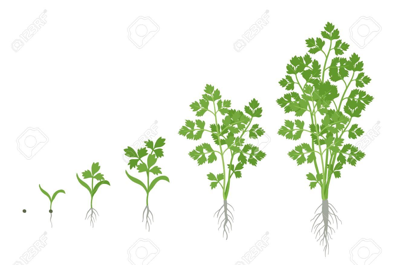 Crop stages of Parsley. Growing garden parsley plant. Harvest growth. Petroselinum crispum. Vector flat Illustration. - 122311519