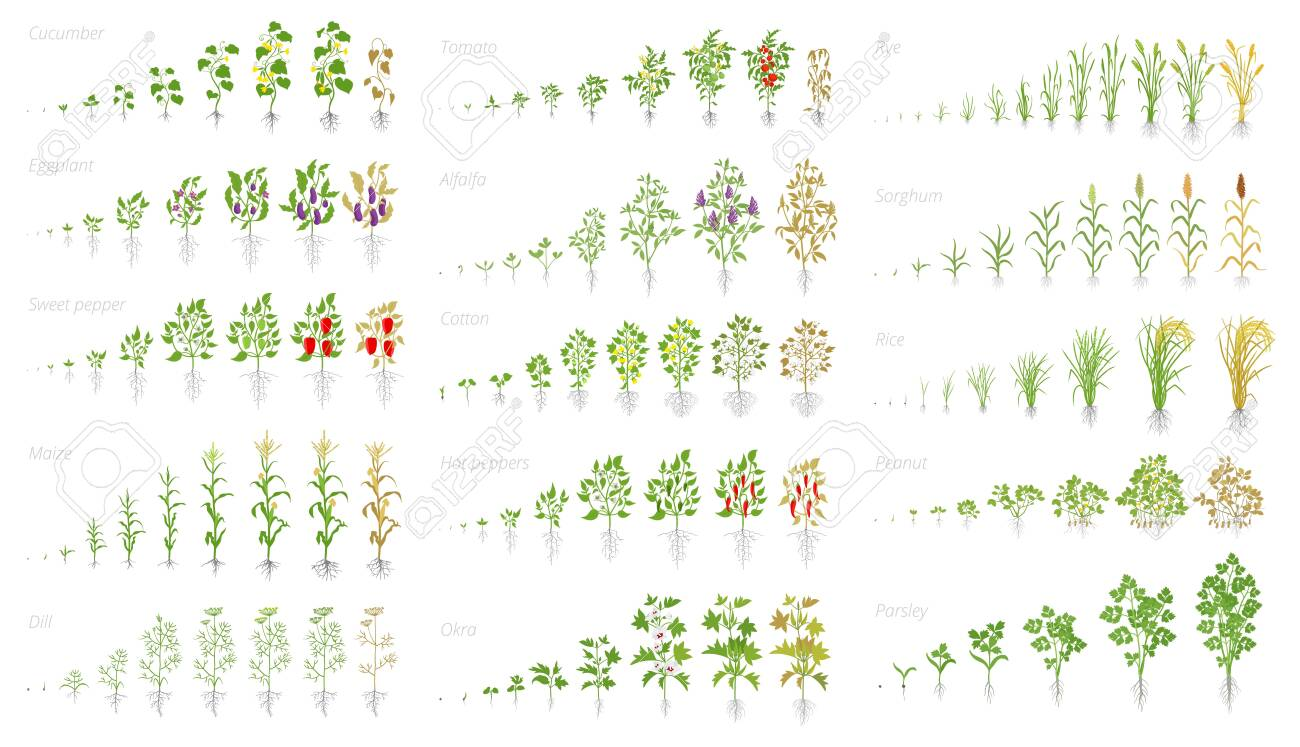 Agricultural plant, growth set animation. Cucumber tomato eggplant pepper corn grain and many other. Vector showing the progression growing plants. Growth stages planting flat stock clipart. - 124114432