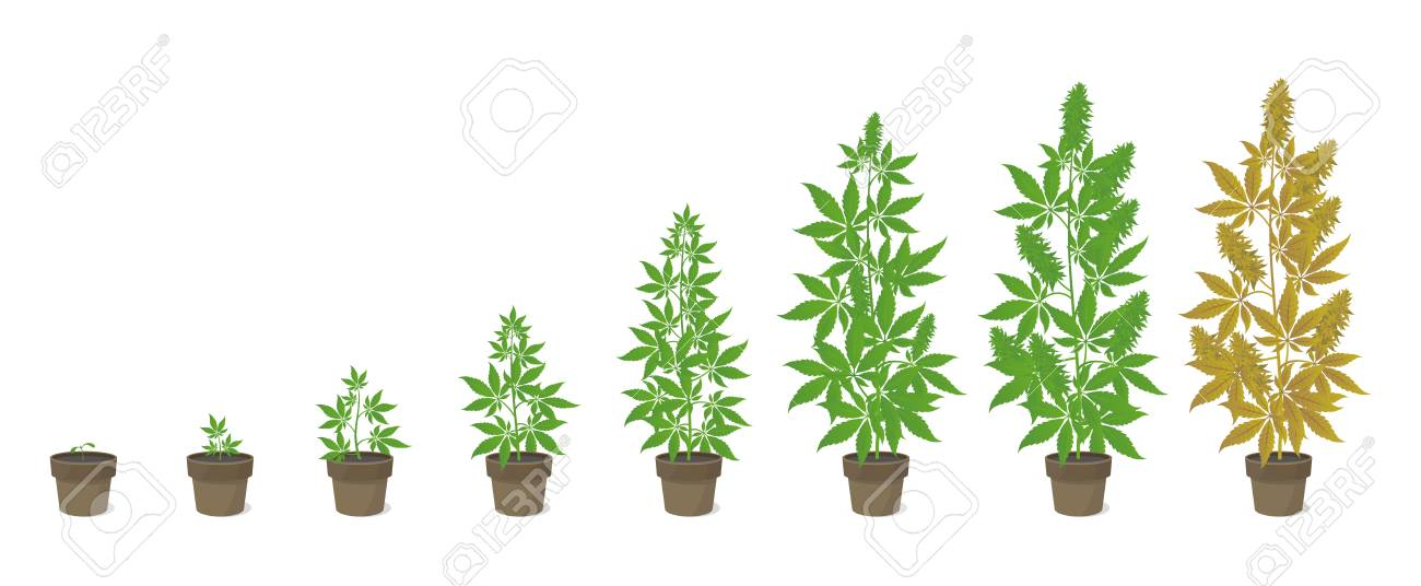 Growth Stages Of Hemp Potted Plant. Marijuana Phases Set. Cannabis ...