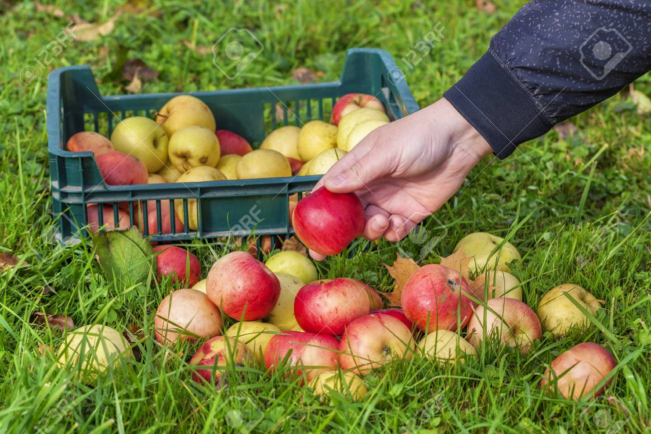 How to collect apples