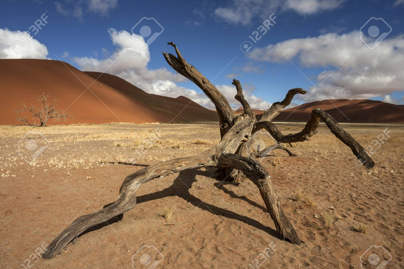 Dead Camel Thorn Tree Vachellia Erioloba Sand Dunes In Front