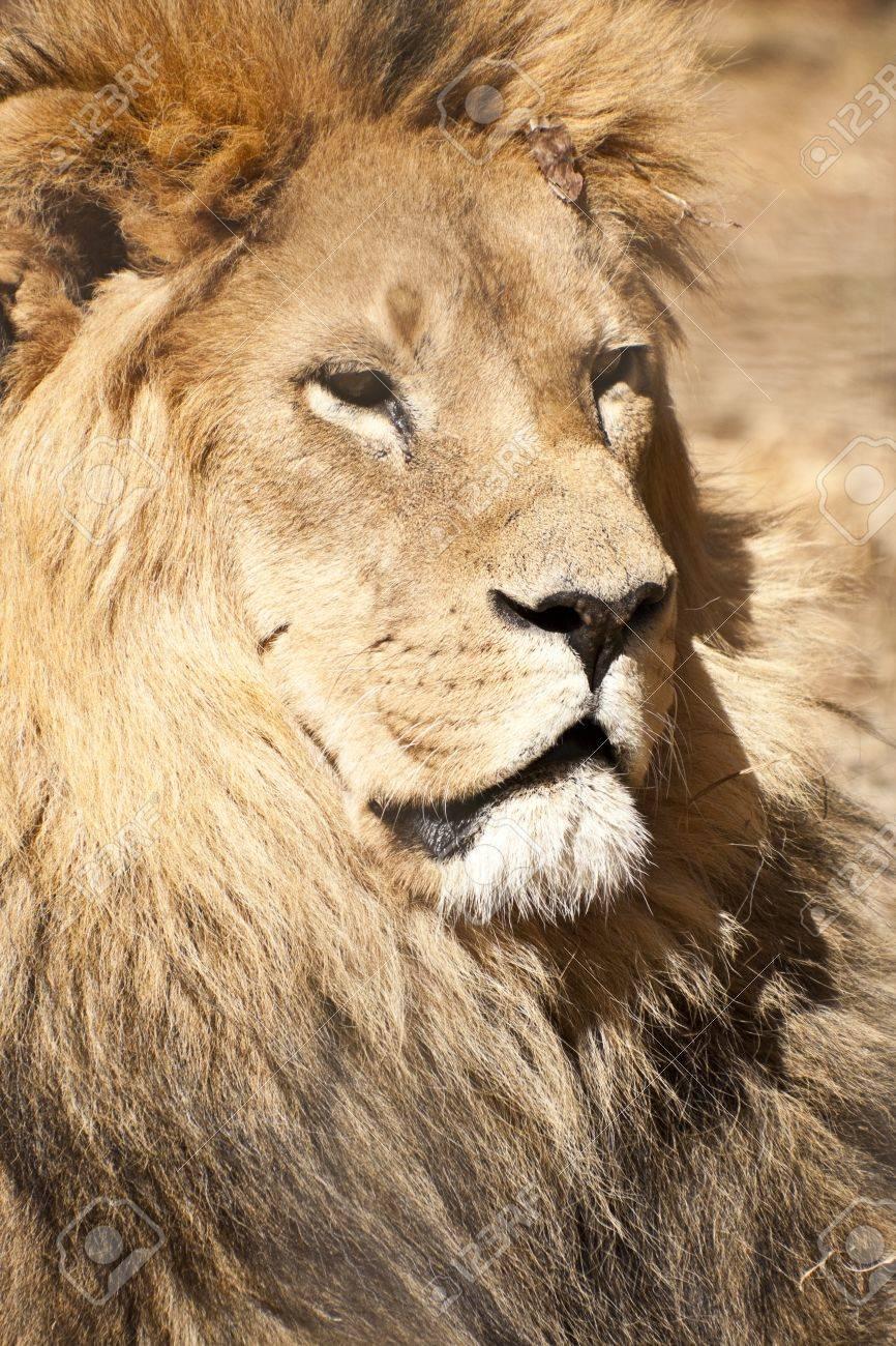 Male Lion Stock Photo - 12176862