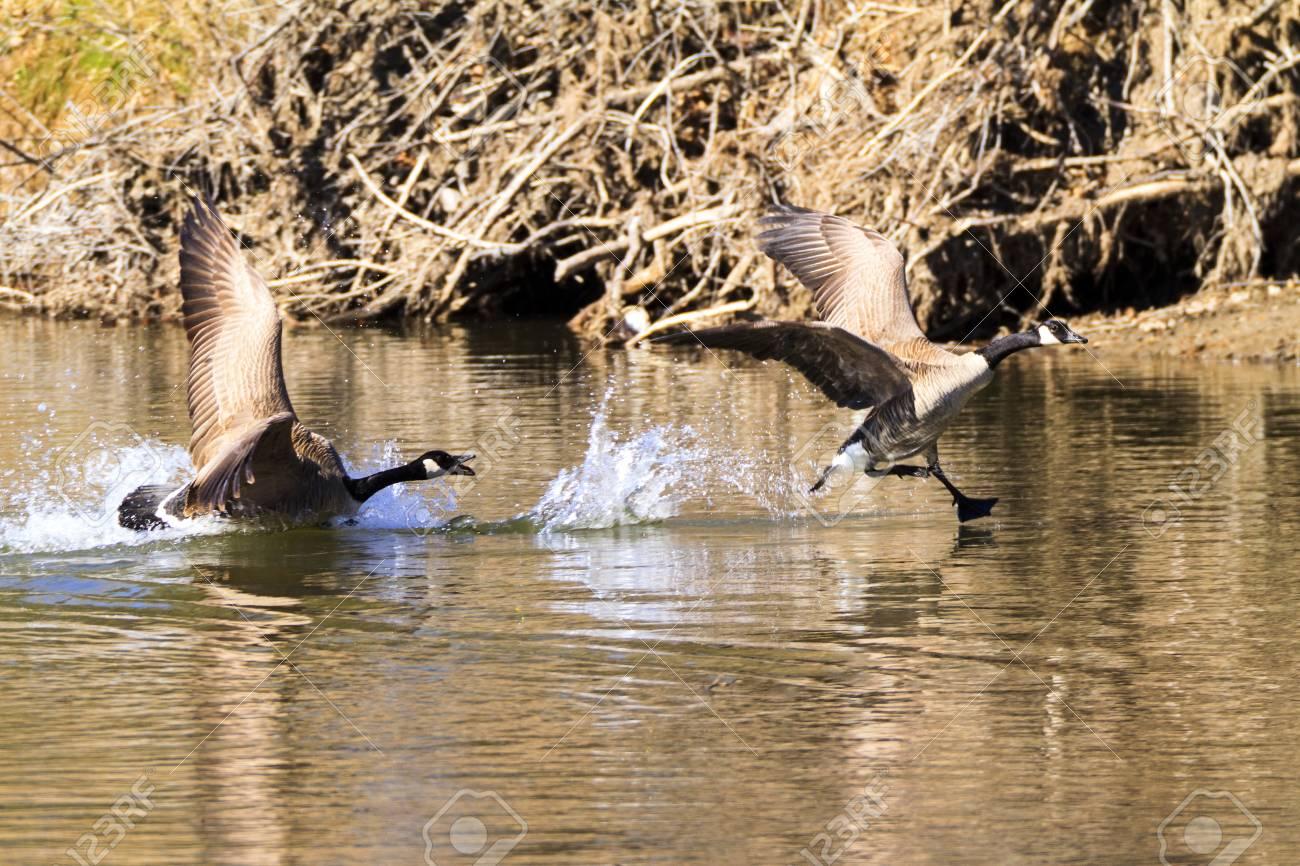 Jugando Gansos De Canada En El Agua Fotos Retratos Imagenes Y