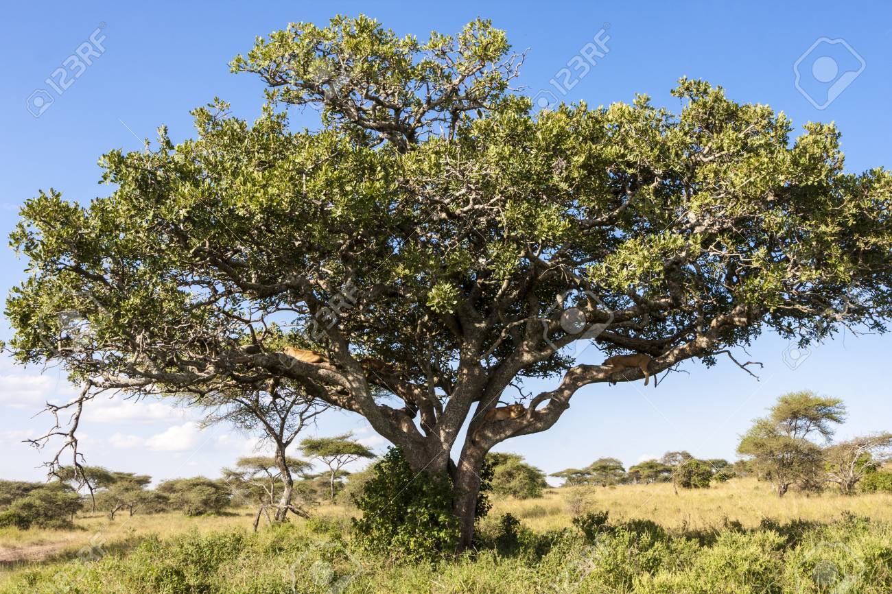の 木 アカシア