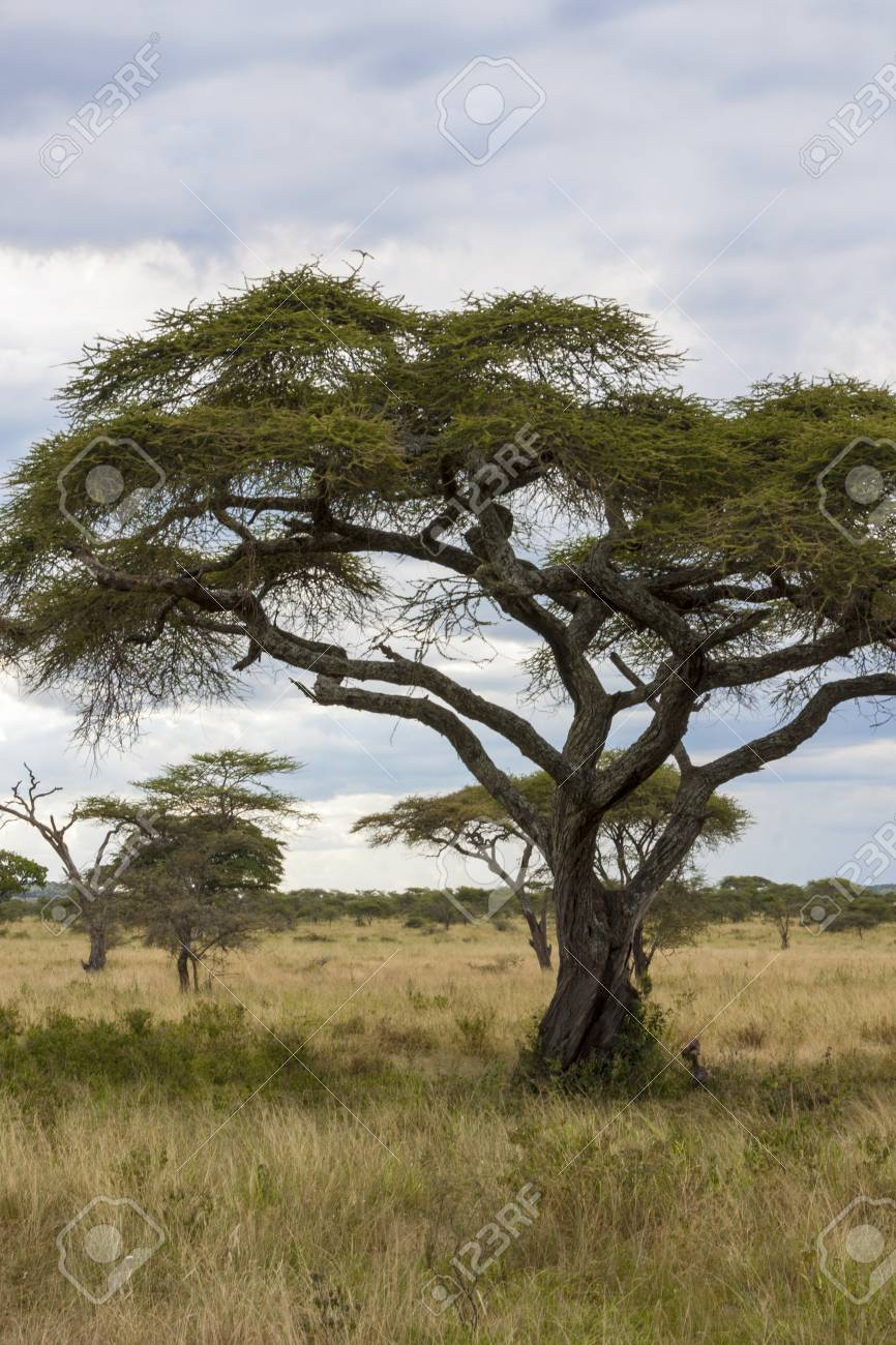 アカシア の 木 アカシアってどんな木?花の特徴や咲く季節、ミモザとの違いをご紹介...