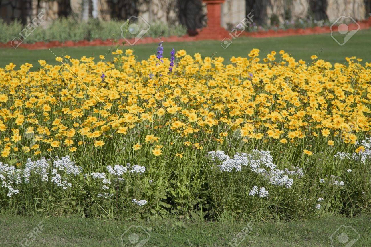 yellow flowers in a garden, gwalior, madhya pradesh, india