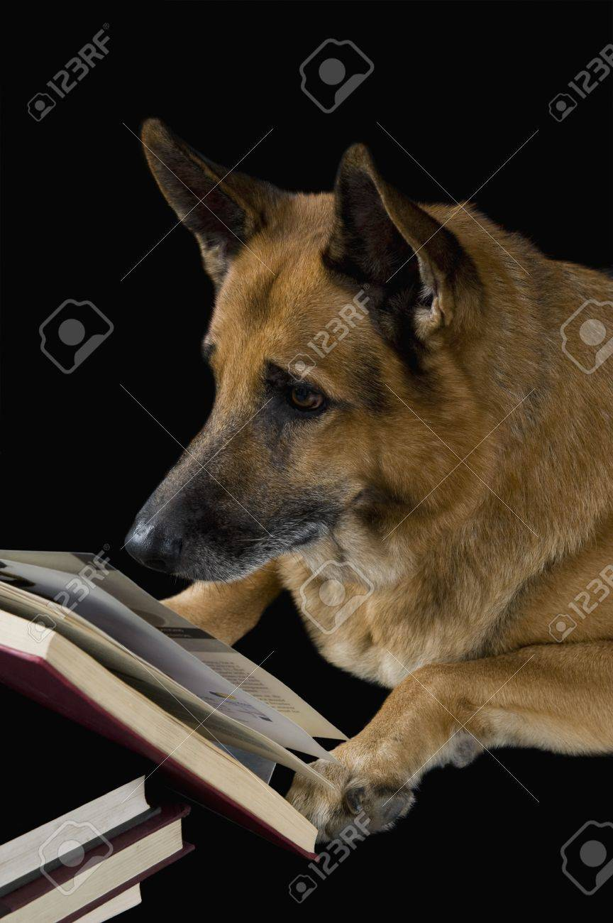 German Shepherd dog reading a book Stock Photo - 10245739