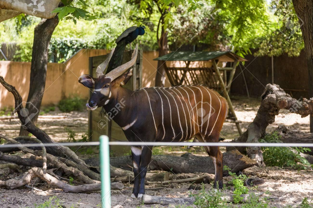Zoo Barcelona bongo tragelaphus eurycerus in a zoo barcelona zoo barcelona