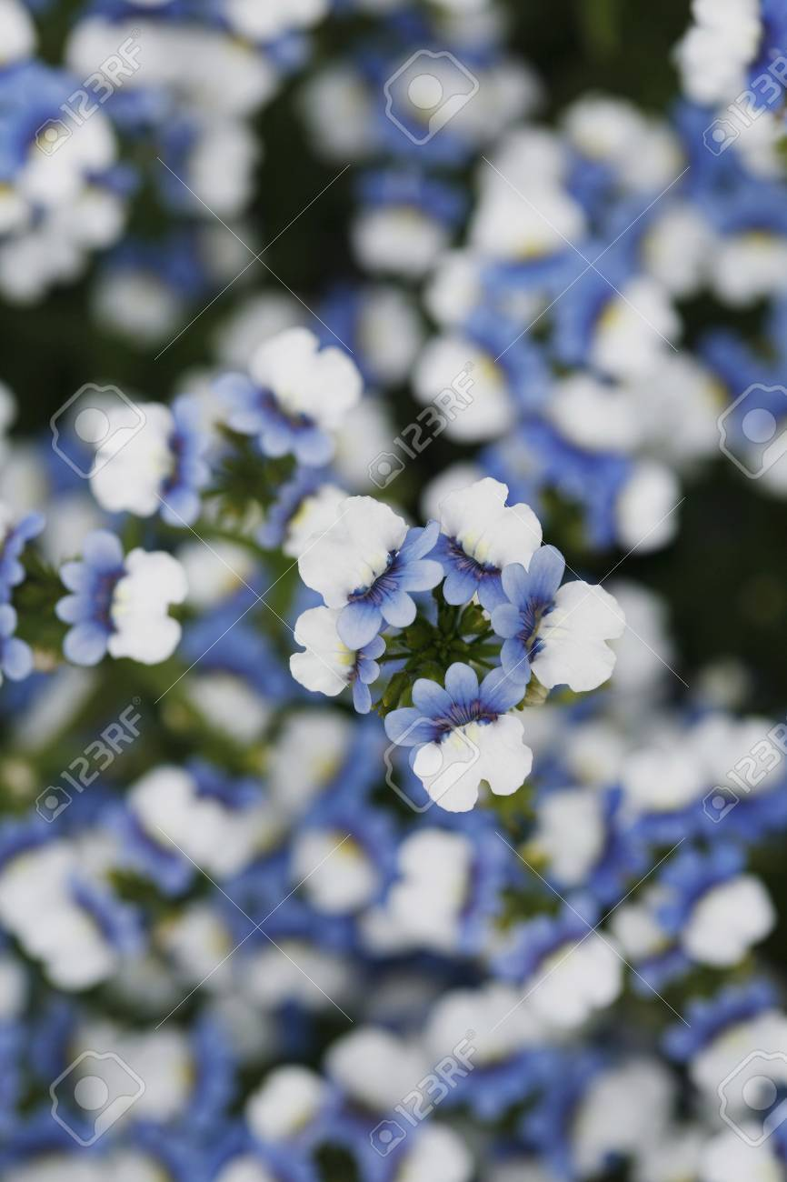 Field Of Blue And White Flowers Stock Photo Picture And Royalty