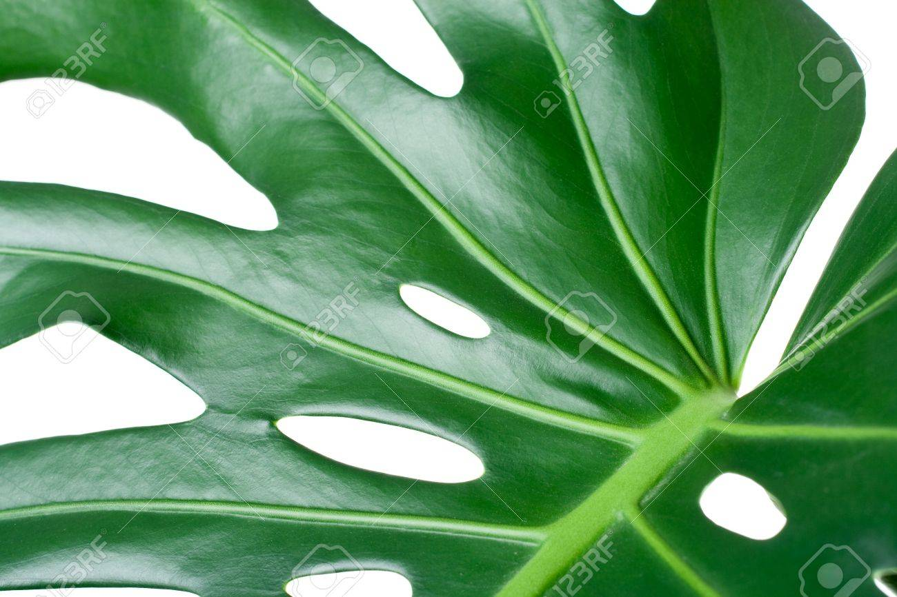leaf of tropical evergreen plant ceriman monstera deliciosa close up isolated on white