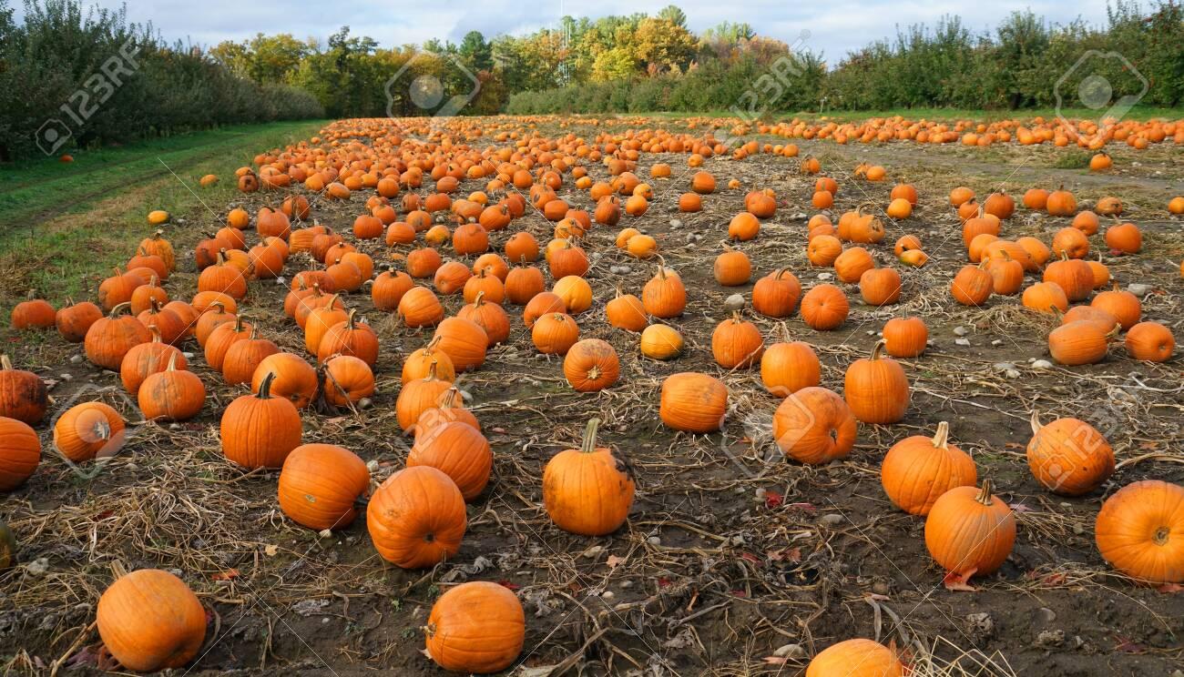 pumpkins in the field in autumn harvest season - 128429887