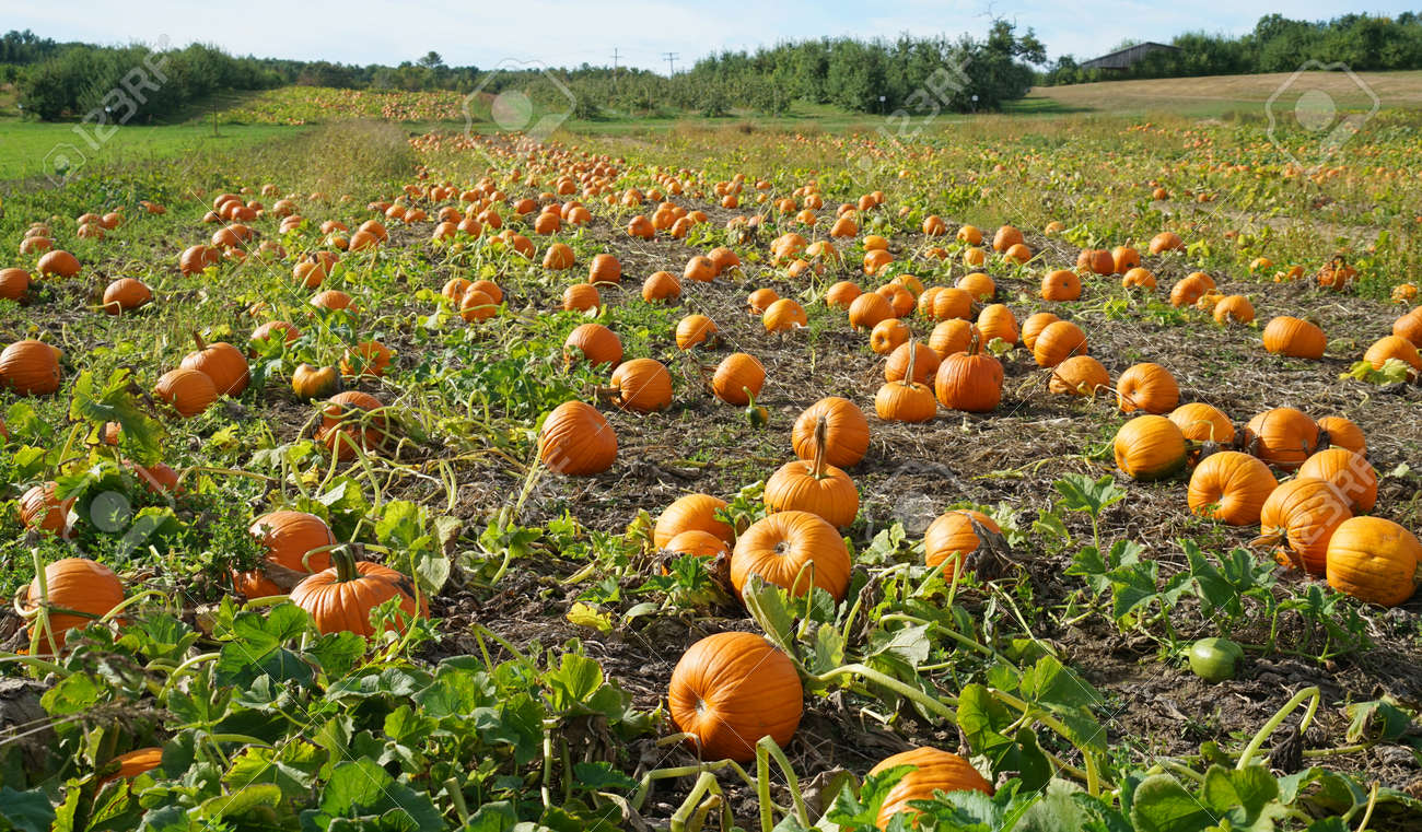 pumpkins in the field in autumn harvest season - 152305832