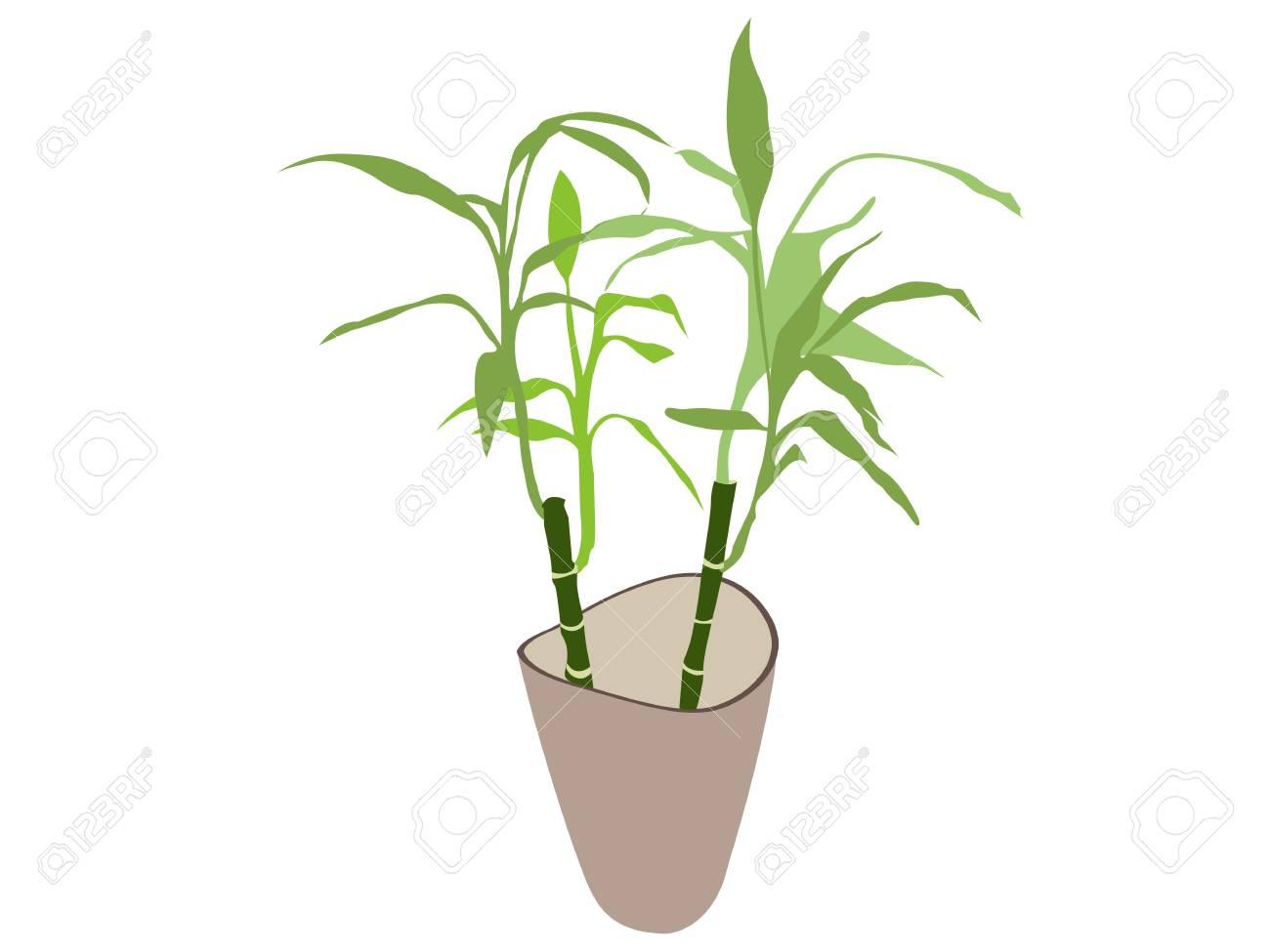 Bambus Pflanze Im Topf Isoliert Auf Weissem Hintergrund Lizenzfreie
