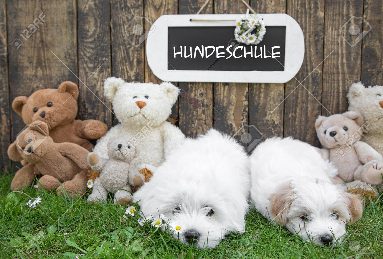 Dog School For Little Puppies Coton De Tulear With A Wooden Stock