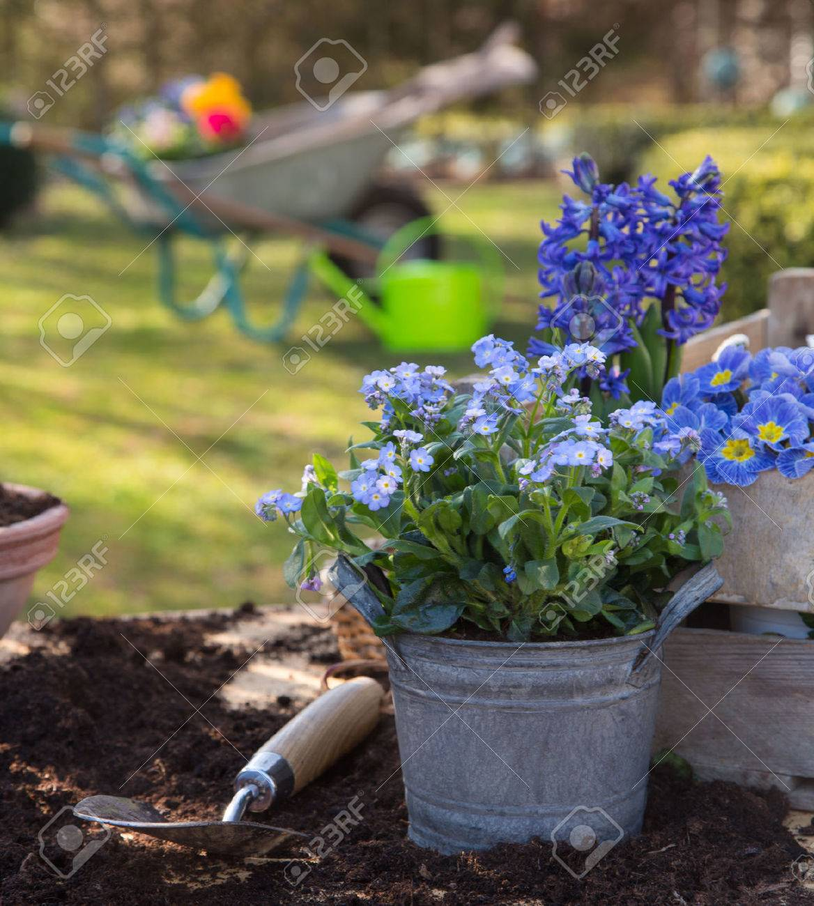 Spring: Gardening with flowers of primula, hyacinth and forget-me-not in blue colors. Banque d'images - 42962156