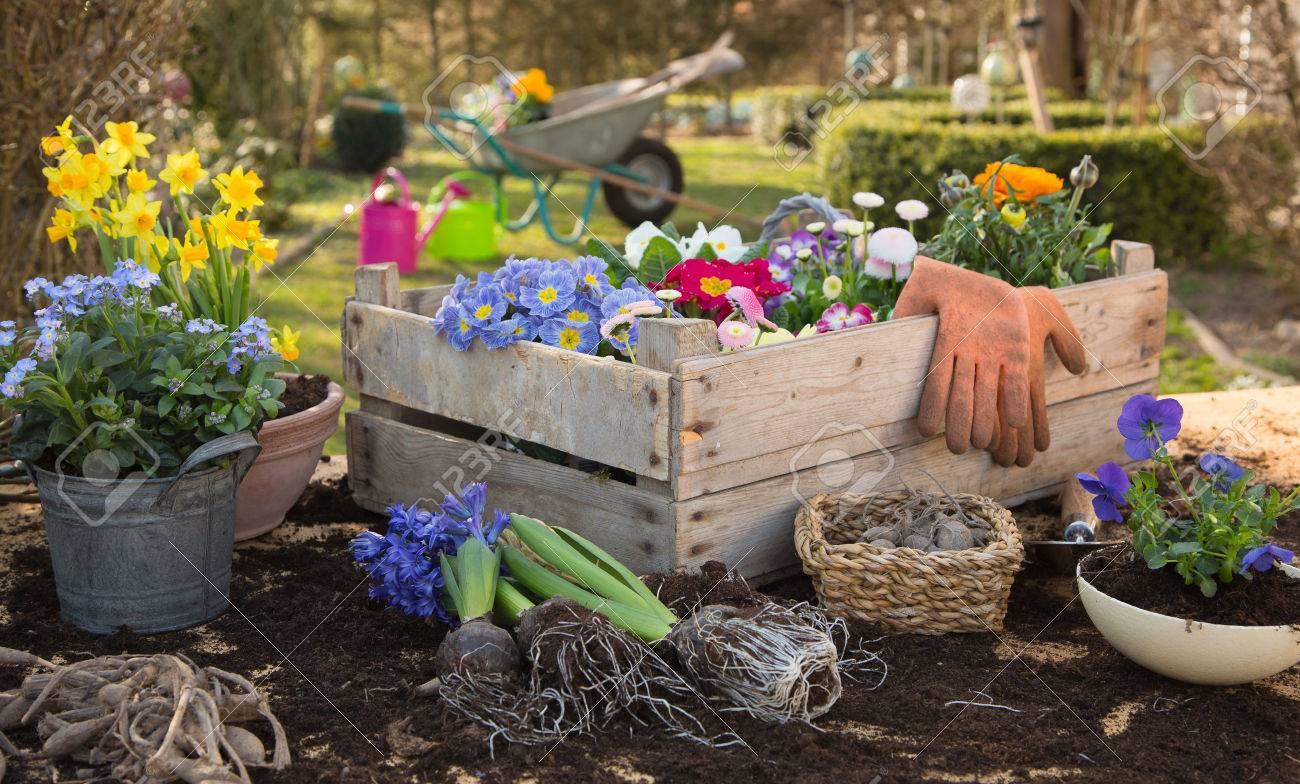 Printemps: Jardinage à l'automne avec des fleurs de primevère, la jacinthe et forget-me-not. Vie à la campagne à la maison. Banque d'images - 42962158