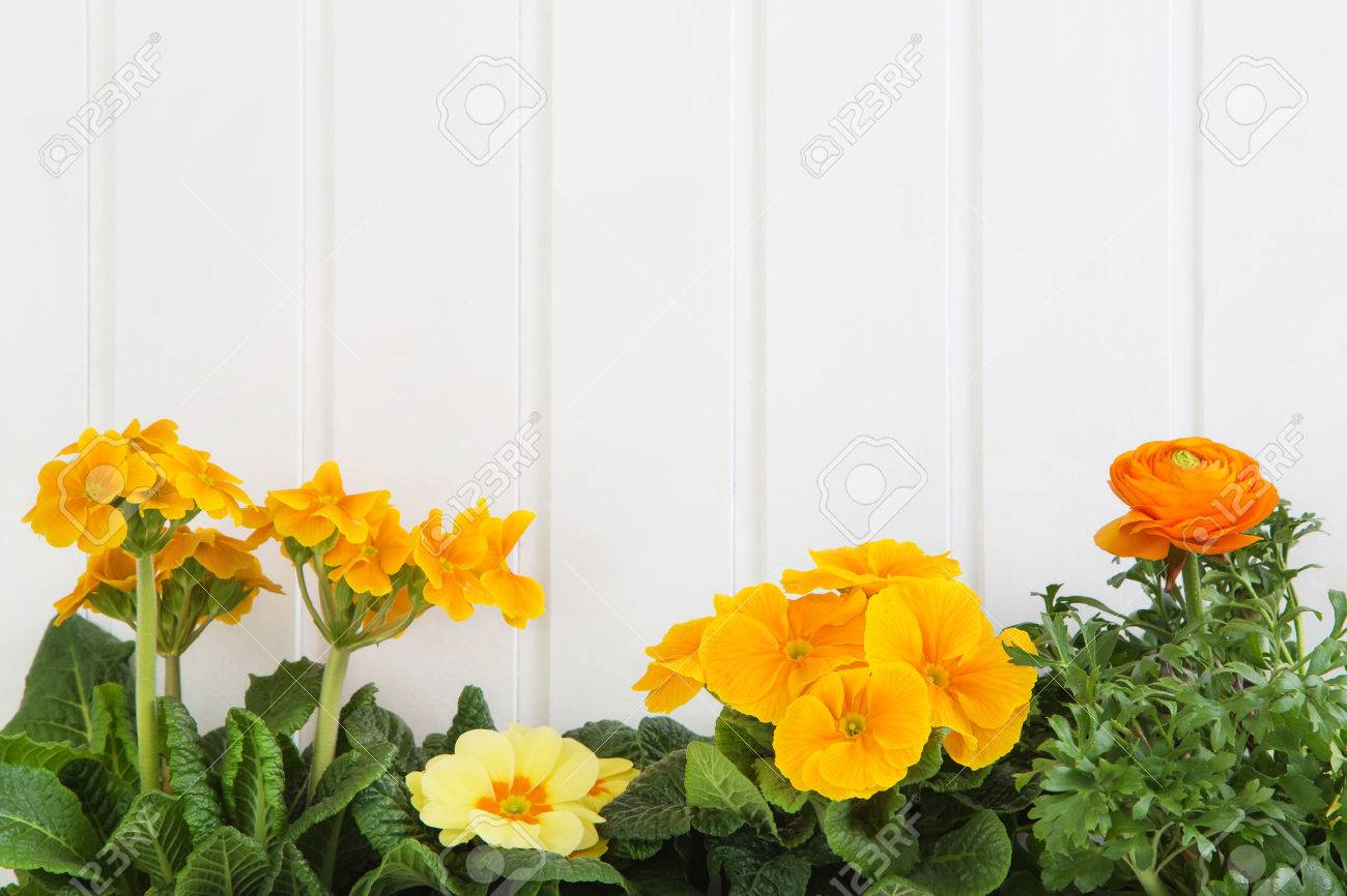Orange And Yellow Spring Flowers On White Wooden Background For