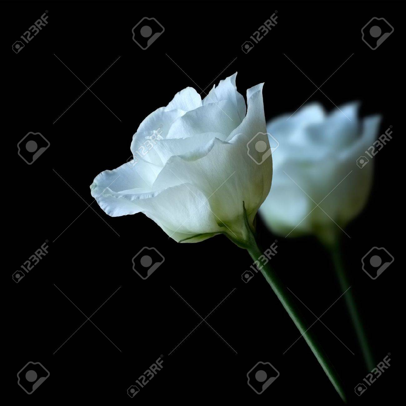Funeral flowers stock photos royalty free funeral flowers images pair of white roses izmirmasajfo Image collections