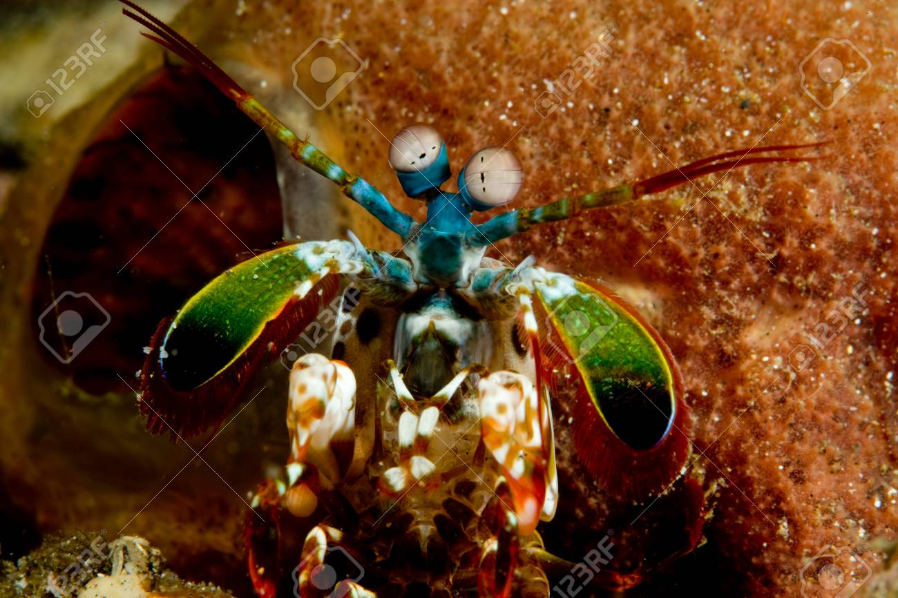 Close-up Of Mantis Shrimp. Stock Photo, Picture And Royalty Free ...