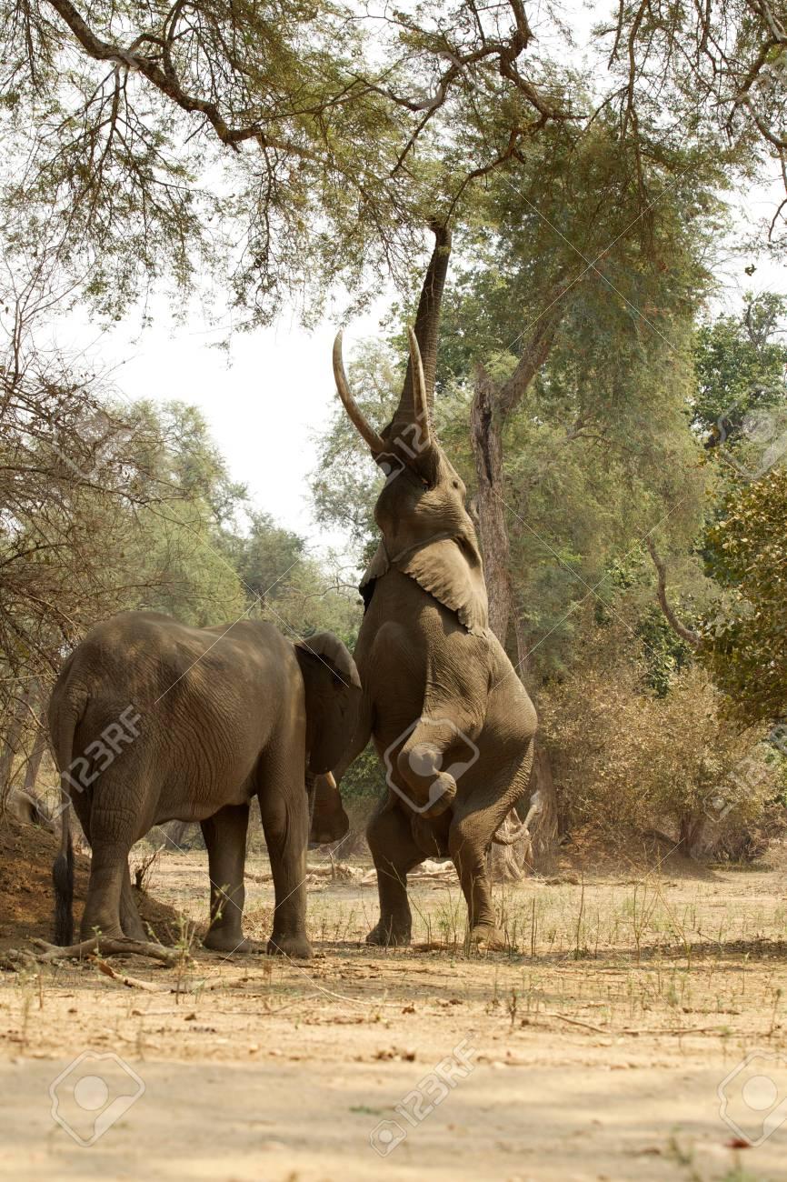 Elefantes Africanos, Uno En Patas Traseras Que Alcanzan Hasta El ...