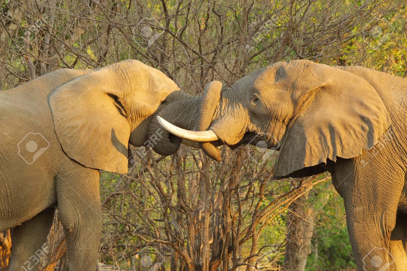 Toros Elefante Africano Saludándose Mutuamente Poniendo Troncos En ...