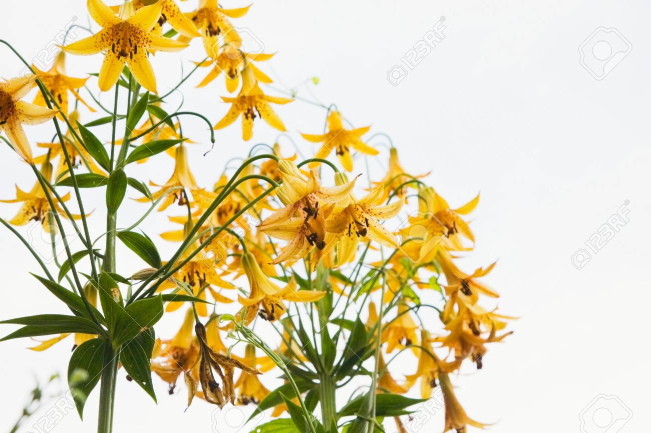 Yellow Perennial Flowers Stock Photo Picture And Royalty Free Image