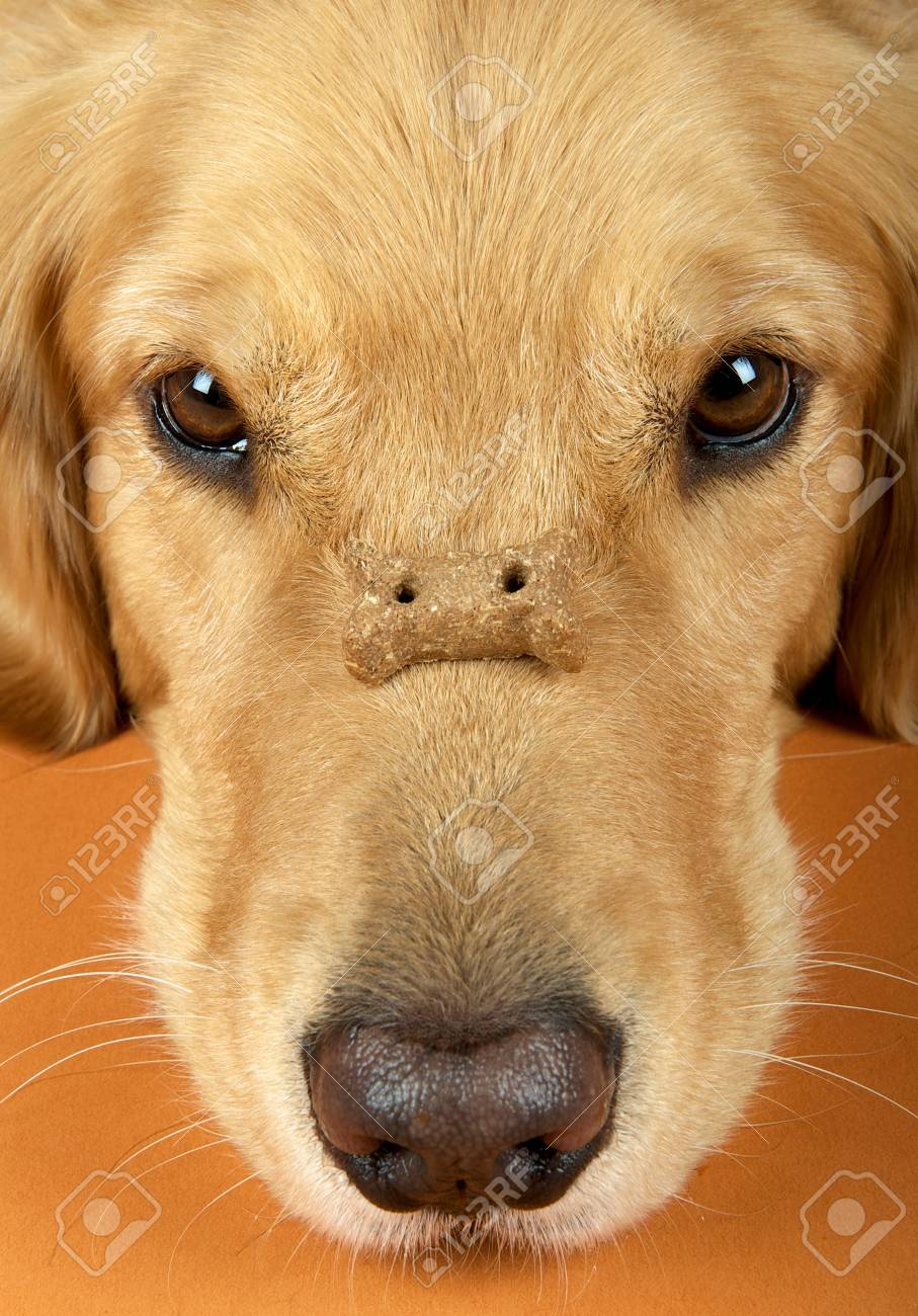 Close Up Of Golden Retriever With Biscuit Balanced On Nose Stock