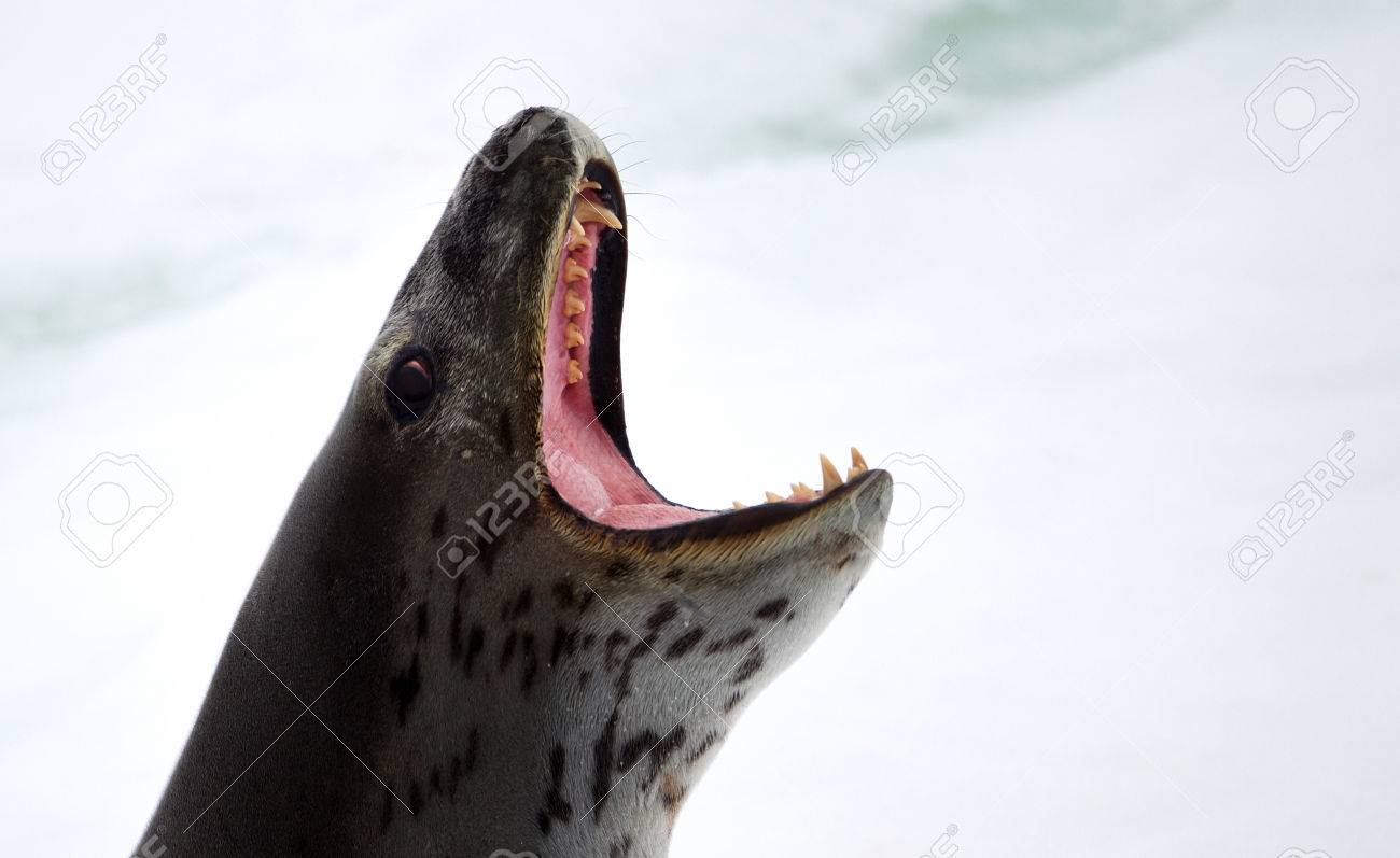 Leopard Seal On Iceberg,ice Floe In The Southern Ocean,180 Miles ...