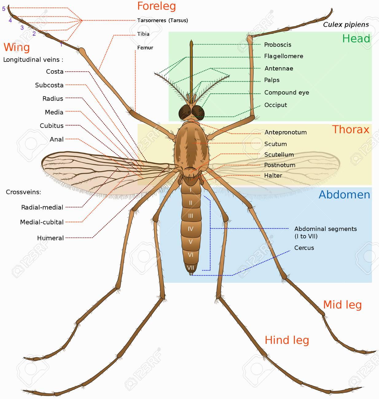 Ilustración De La Anatomía Del Mosquito Culex Pipiens Fotos ...