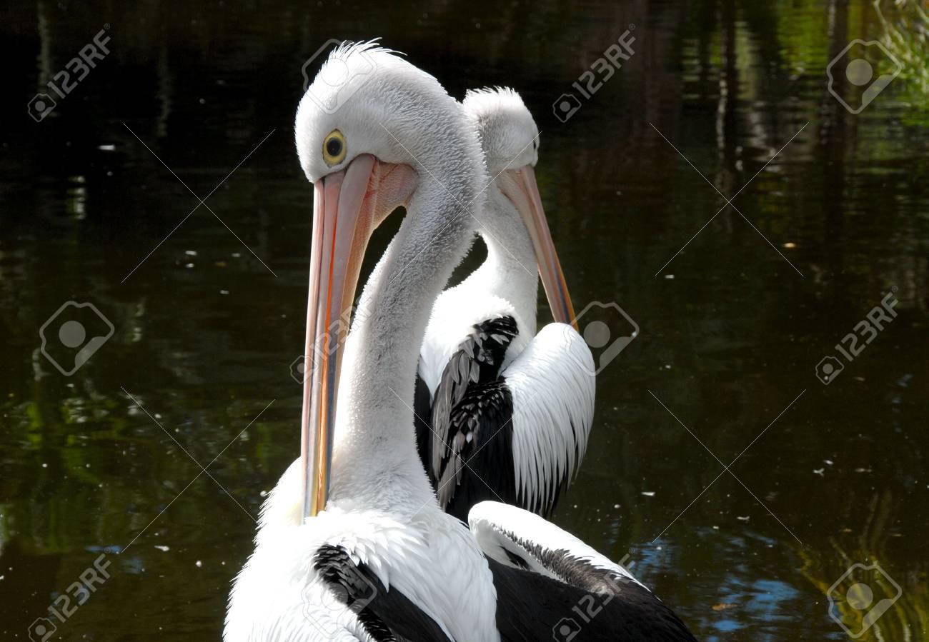 Pelicans Stock Photo - 7096844
