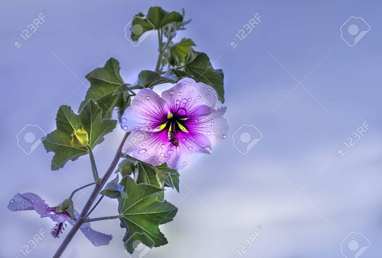 Lhibiscus Est Un Genre De Plantes à Fleurs Dans La Famille Des