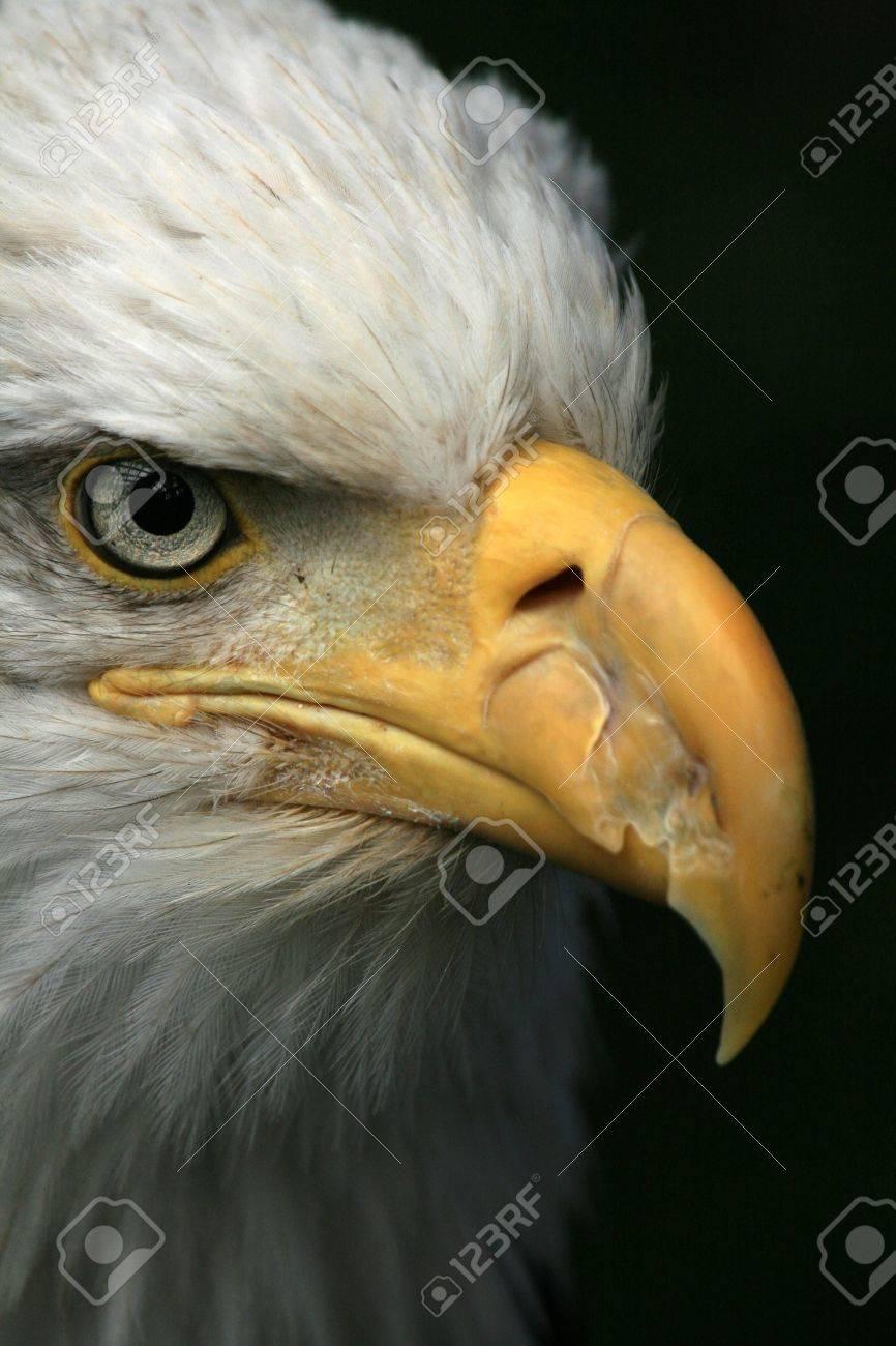 Bald Eagle National Symbol Of Usa Bird Of Prey Alaska Stock
