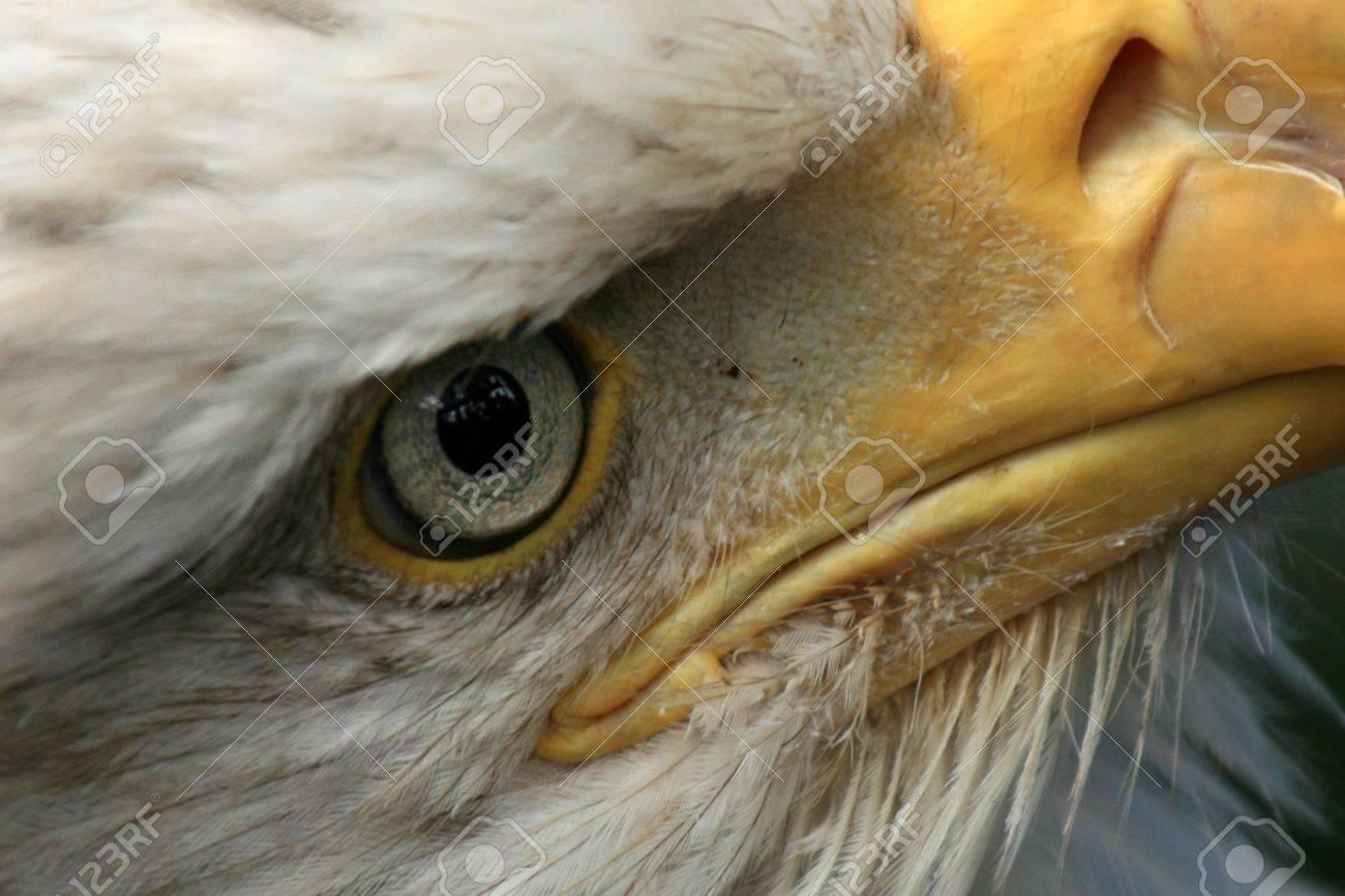 Bald Eagle - National symbol of USA - Bird of Prey, Alaska Stock Photo - 5782453