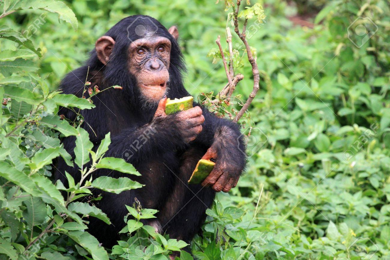 Chimpanzee Sanctuary, Game Reserve - Uganda, East Africa Stock Photo - 7211023