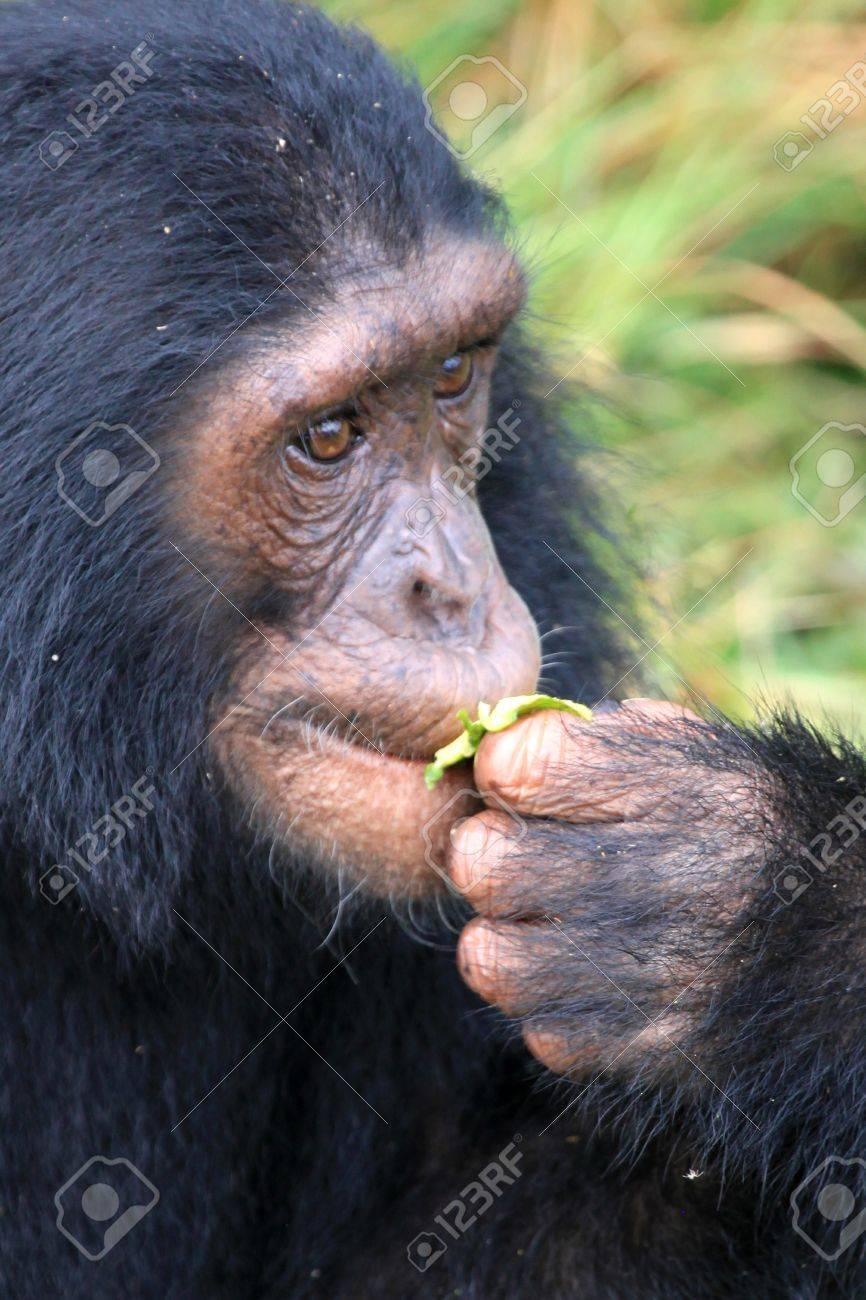 Chimpanzee Sanctuary, Game Reserve - Uganda, East Africa Stock Photo - 7211110