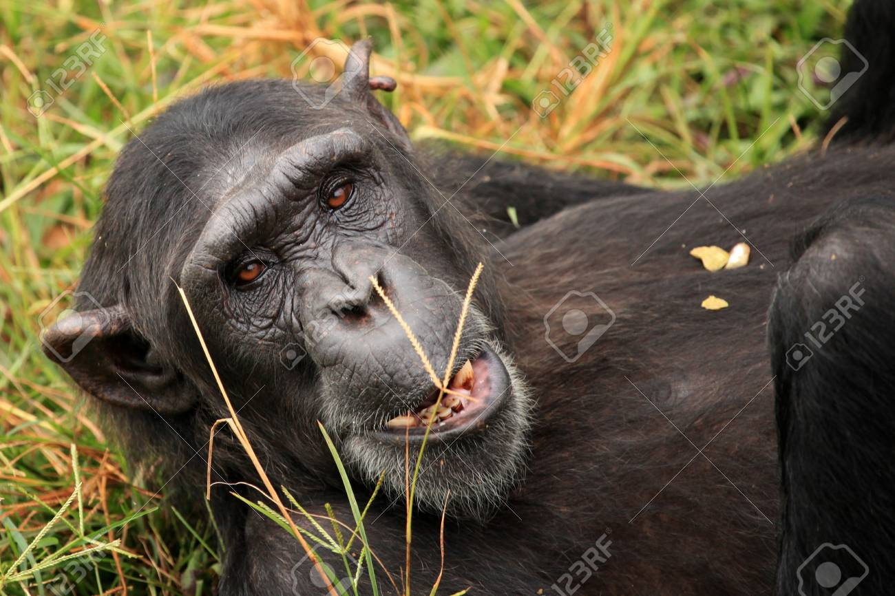 Chimpanzee Sanctuary, Game Reserve - Uganda, East Africa Stock Photo - 7211036