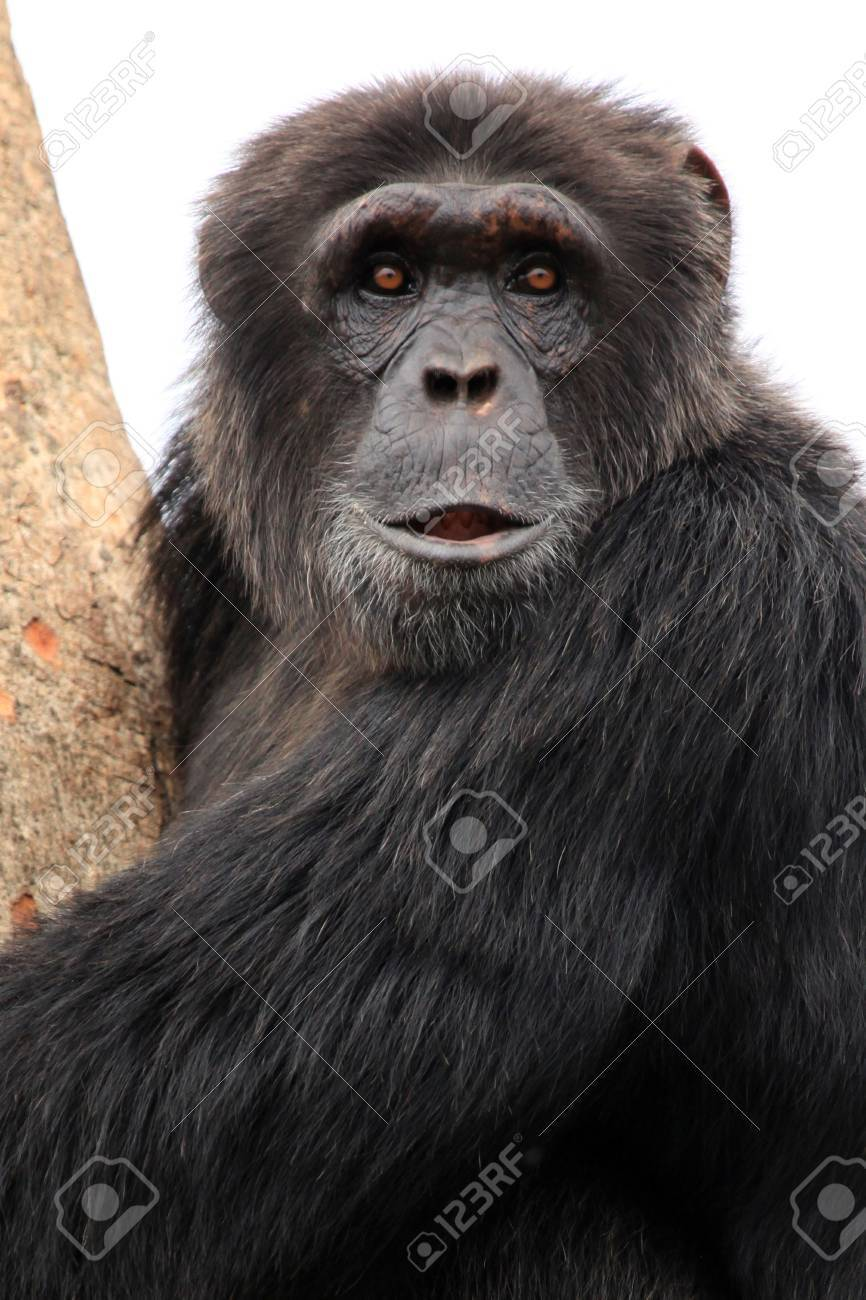 Chimpanzee Sanctuary, Game Reserve - Uganda, East Africa Stock Photo - 7211060