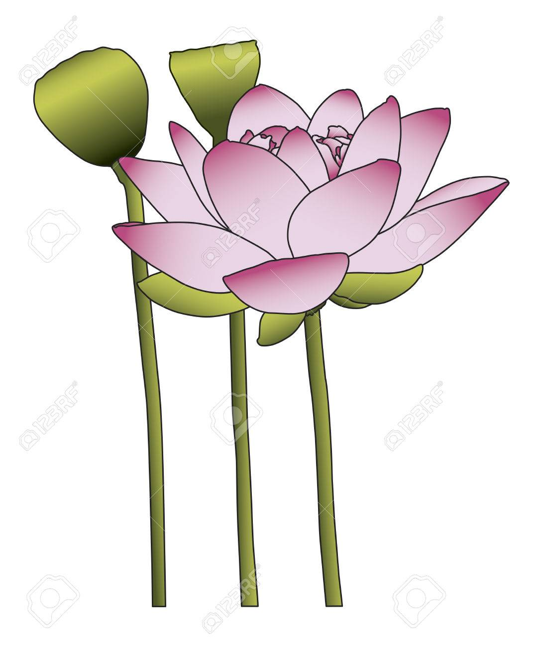 large pink lotus flower on white background royalty free cliparts