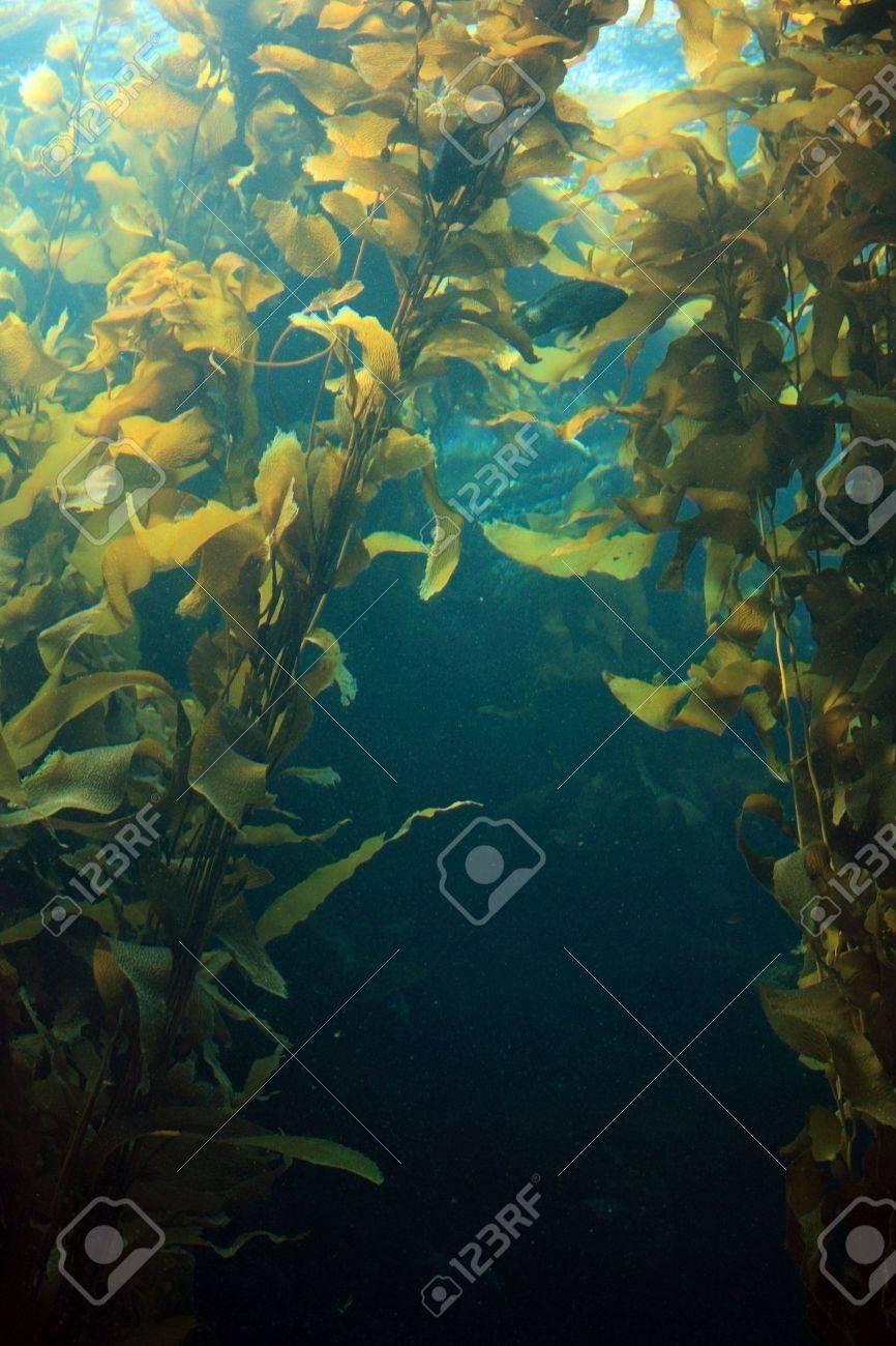 Giant kelp in blue water of aquarium - 5430905